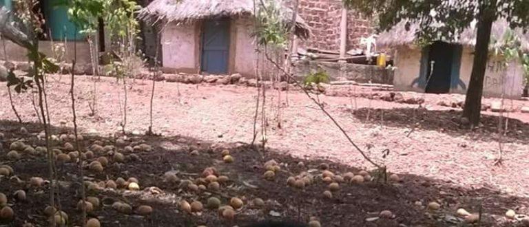 Article : Le Fouta Djallon, ce vaste cimetière de mangues